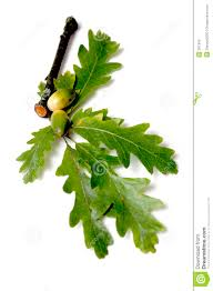 White Oak Leaf Oak Leaves And Acorns Stock Photos Image 291363