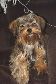 22 best yorkie poo images on pinterest yorkies puppies and