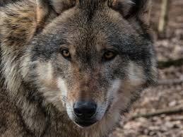 free images predator fauna wild animal vertebrate carnivores