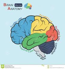 Gross Brain Anatomy Anatomy Brain Cerebellum Brain Stem Patient Siteman Cancer Center