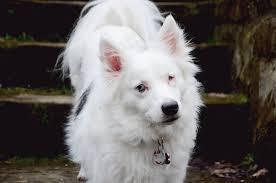 american eskimo dog washington state update body of lost dog found in washington county