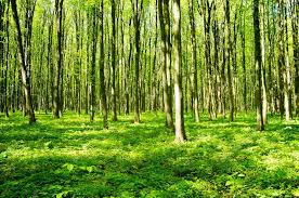 slender trees in forest green stock photo nataliiak