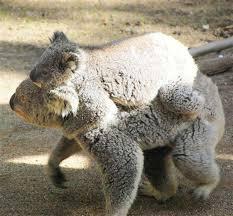 koalas resting sleeping postures positions