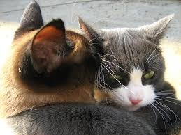 28 twin cats cauldron of reflections kitties siamese twin twin cats blue white cat vs siamese twin cat round two russian