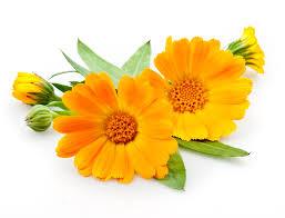 calendula flowers calendula the flower for summer skin wishgarden herbs