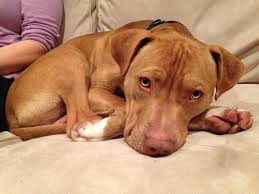 Seeking Pitbull After More Than A Year Milton Shelter Still Seeking Home For