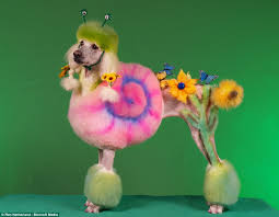 pictures of poodle haircuts the poodles transformed into pandas horses and even snails at