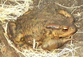 true toad wikipedia