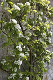 21 best trees for small gardens images on pinterest small