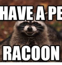 Raccoon Excellent Meme - 25 best memes about scheming raccoon scheming raccoon memes