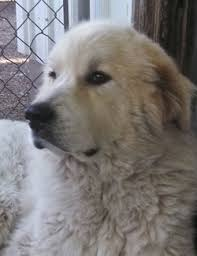 great pyrenees rescue provides wonderful dogs to good homes adopted dogs great pyrenees rescue of western illinois