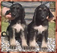 us afghan hound aaawww mahadi afghan hound breeder puppies dogs for sale austin