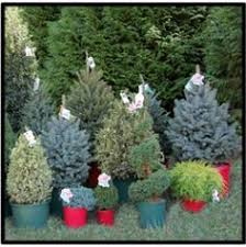 christmas evergreen containers images reverse search