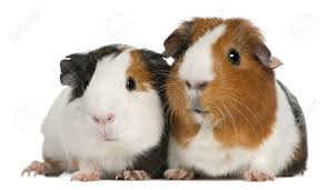 guinea pig stock photos pictures royalty free guinea pig images
