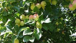 top 10 apple tree flowers posts on