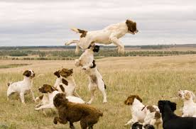 Do Brittany Spaniels Shed by The Kooikerhondje Is A Dutch Gundog Breed Kooikerhondjet