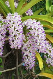 orchid plants foxtail orchid care learn how to grow rhynchostylis foxtail
