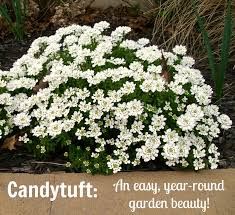 candytuft a gorgeous evergreen perennial with white flowers you