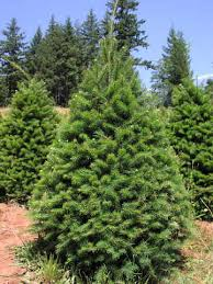 douglas fir christmas tree douglas fir forever green christmas tree farm