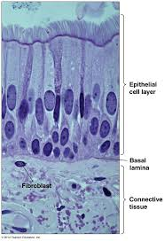 95 best histology images on pinterest anatomy art and health