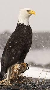 286 best bald eagle images on pinterest bald eagles birds of