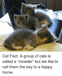 Cat Facts Meme - フ cat fact a group of cats is called a clowder but we like to