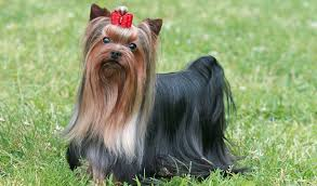 silky terrier with haircut pictures of yorkshire terrier hairstyles 1001doggy com