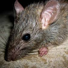 rat and rodent pest control las vegas pest control and extermination