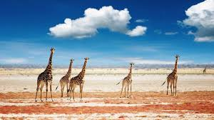 giraffe wallpaper 26