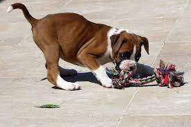 boxer dog health questions top 50 unseen boxer photos of all time