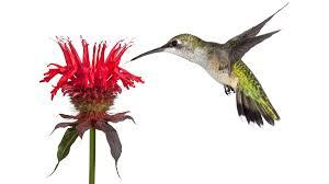 bird friendly native plants audubon the audubon guide to attracting hummingbirds and orioles audubon