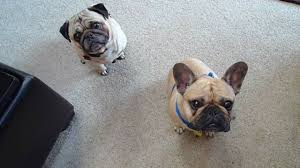 bulldog y boxer pug and french bulldog youtube