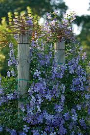 194 best blue perennials images on pinterest blue flowers