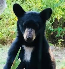 Hungry Bears Perishing On Western Montana Highways Local - bc61cce6 fc1a 4a69 9133 5d14dfa5e724 jpeg