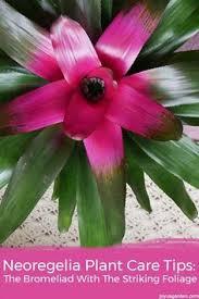 bromeliad plant care how to grow bromeliad house plants plant