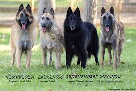 belgian sheepdog groenendael puppies belgian shepherd toujour