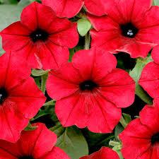 petunia flowers petunia seeds f1 tidal wave velour flower seeds n to q