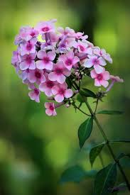 Phlox Flower 48 Best Flowers Images On Pinterest Flower Photography Pretty