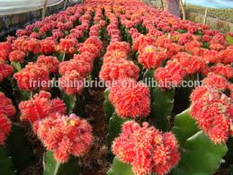 live ornamental plants export all types of cactus plants buy