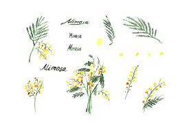 wedding flowers clipart mimosa flowers watercolor clipart mimosa yellow