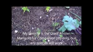 companion planting with marigolds and the benefits youtube