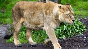 how do lions walk reference com