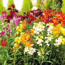 wall flowers wallflowers
