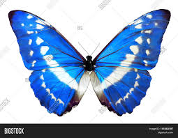 blue morpho helena butterfly image photo bigstock