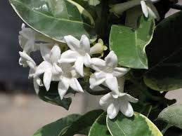 Fragrant Jasmine Plant - jasmine a jasmine plant is a great addition to a garden or a home