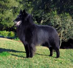 belgian sheepdog nc belgian sheepdog nationals 2016