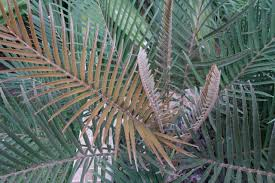 Tropical Looking Plants Cycad Cones And Flushes Page 30 Tropical Looking Plants