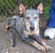 australian shepherd queensland heeler mix pictures banjo located in visalia ca was euthanized on oct 10 2009
