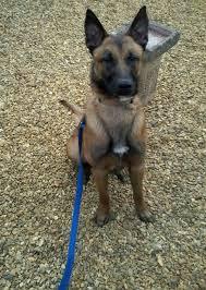belgian shepherd malinois temperament drakey u2013 15 month old male belgian shepherd dog for adoption