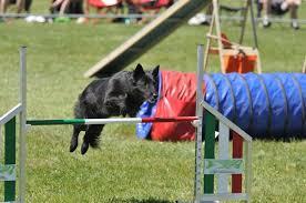 belgian sheepdog trials breed info veterinarians union city uni pet clinic